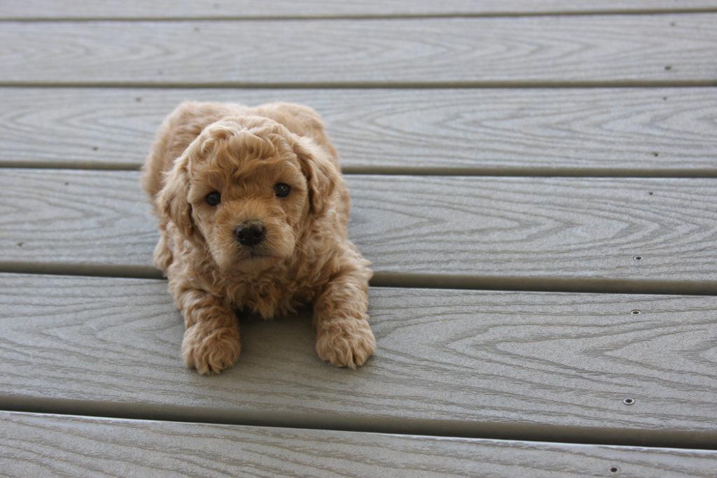 Black-Teacup_Goldendoodle_Dog-F2B_Goldendoodles-Toy_Golden_doodle_puppies 11-24-06
