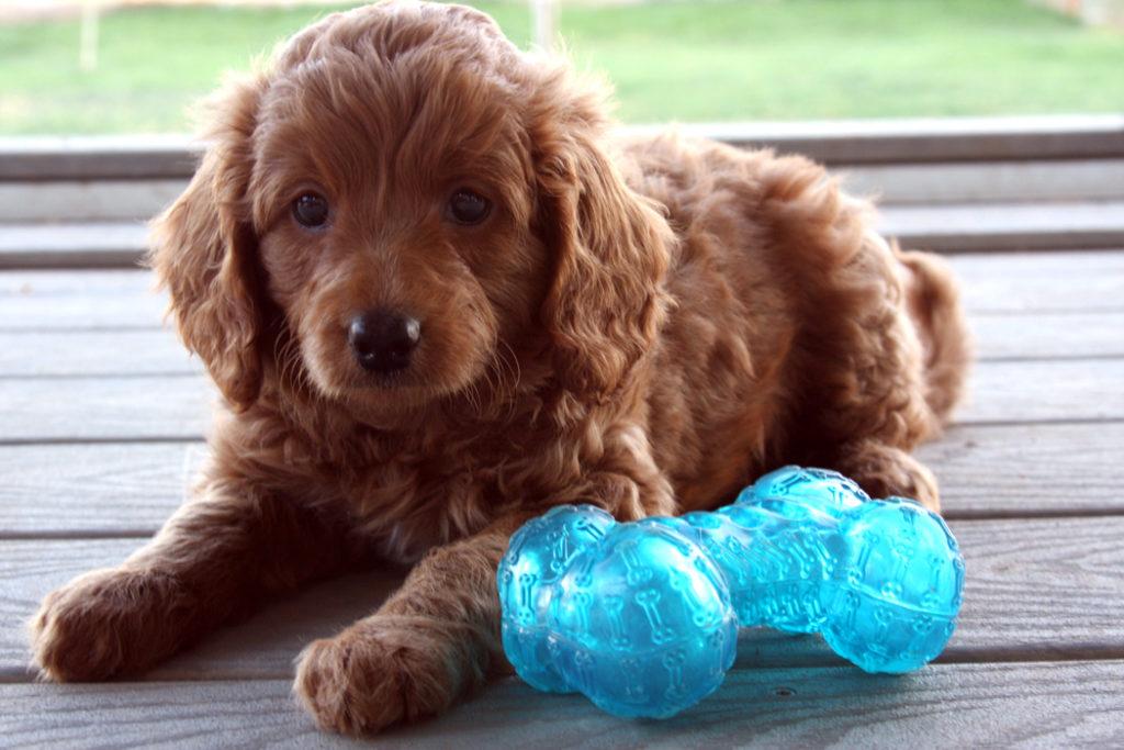 Ginger-Teacup_Goldendoodle_Puppy-Apricot_Goldendoodle-MiniDoodleDogs 19-13-08