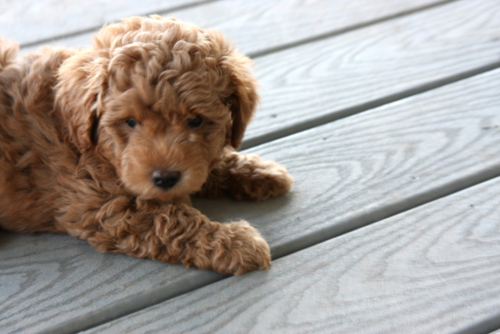 Lucky-Teacup_Goldendoodle_Puppy-Apricot_Goldendoodle-MiniDoodleDogs 18-59-45_01