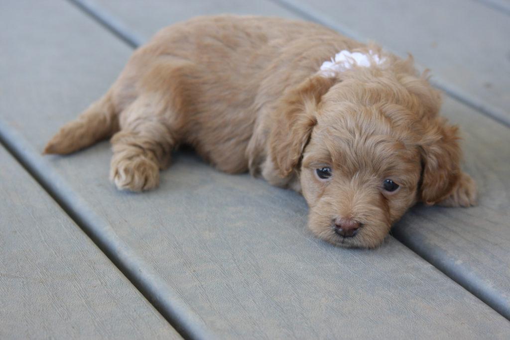 Pink-Teacup_Goldendoodle_Dog-F2B_Goldendoodles-Toy_Golden_doodle_puppies 11-34-03