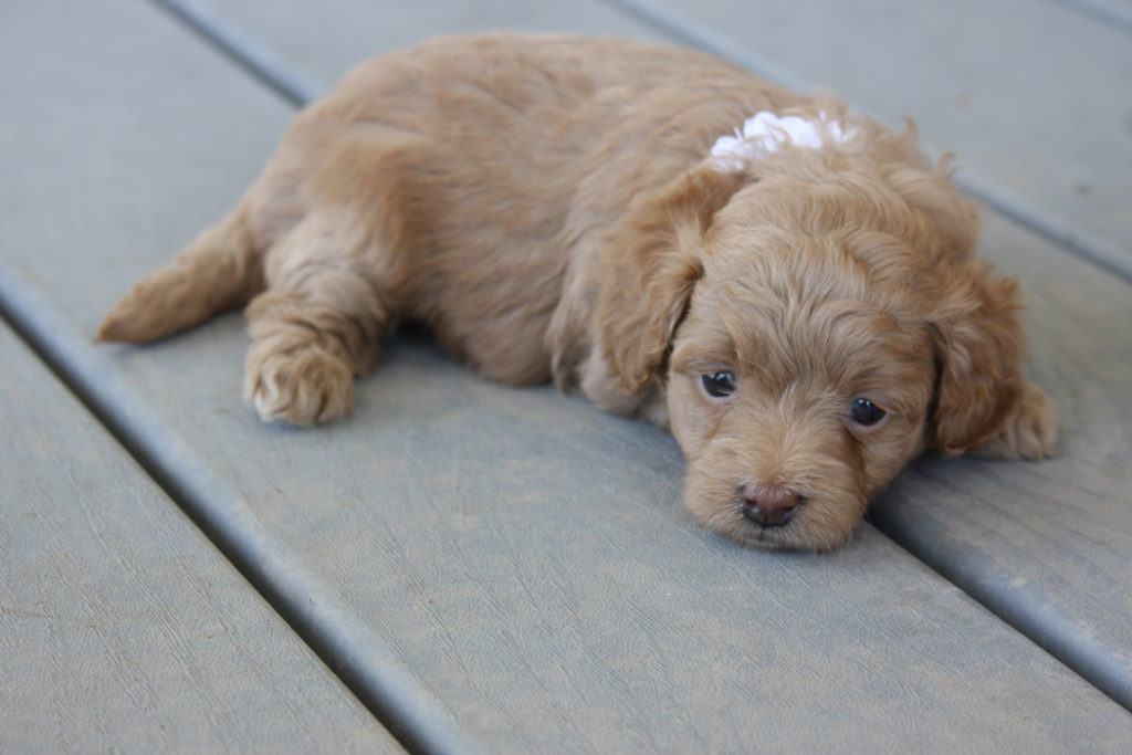 Pink-Teacup_Goldendoodle_Dog-F2B_Goldendoodles-Toy_Golden_doodle_puppies 11-34-03